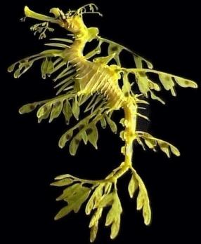 leafy_sea_dragon_02_600x800